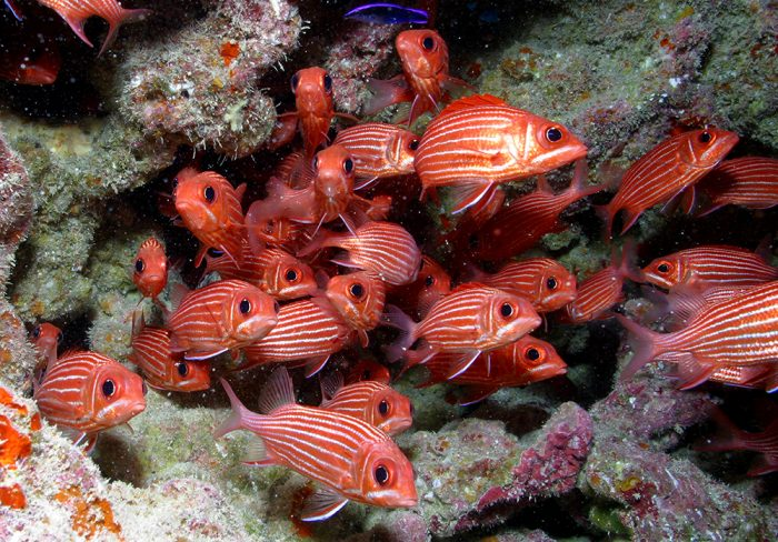 By U.S. Fish & Wildlife Service - Pacific Region's - Red fish - Papahānaumokuākea Marine National MonumentUploaded by PDTillman, CC BY 2.0, https://commons.wikimedia.org/w/index.php?curid=14185367
