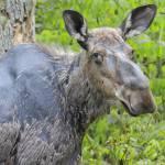 alice the moose