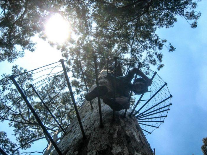 climb big tree australia