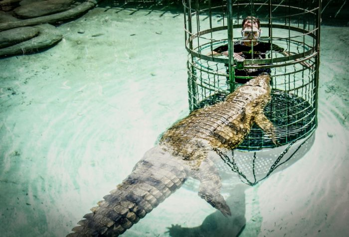 crocodiles cage swim south africa