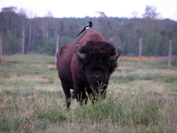 Alberta Elk Island national park