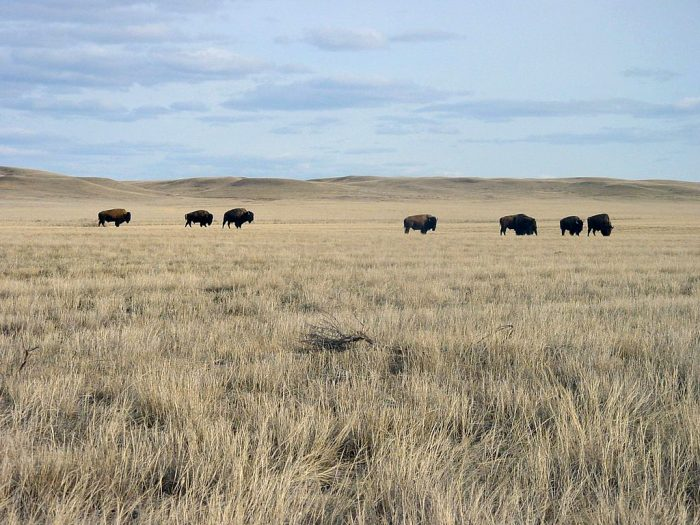 Bison roam along the vast plains of Grasslands National Park