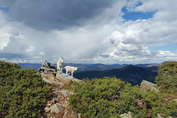 scotchman-peaks-goats