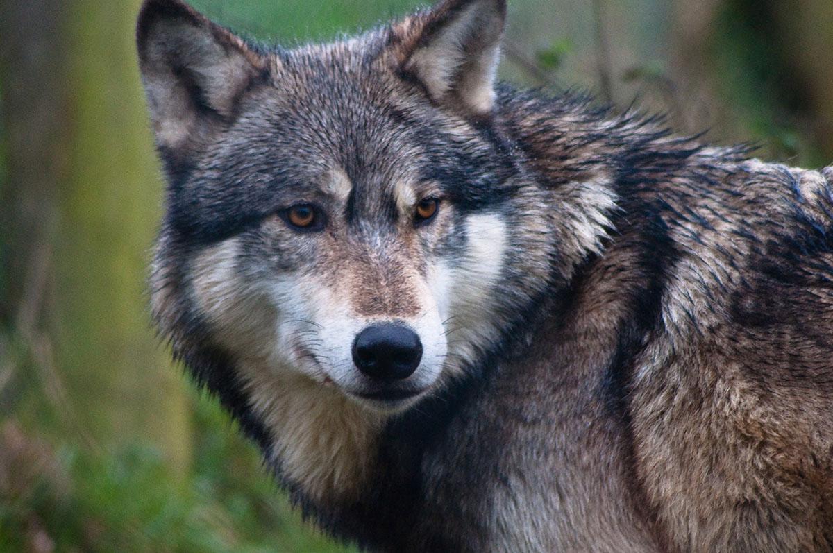wolf isle royale