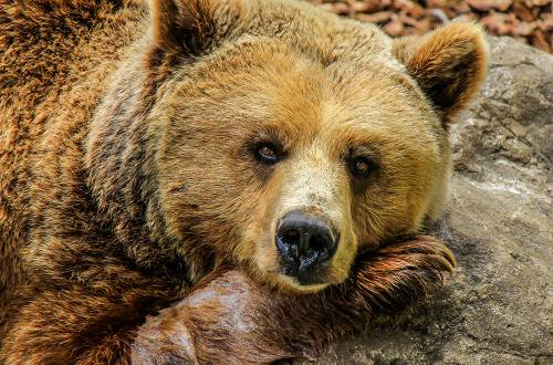 grizzly bear lying down bored