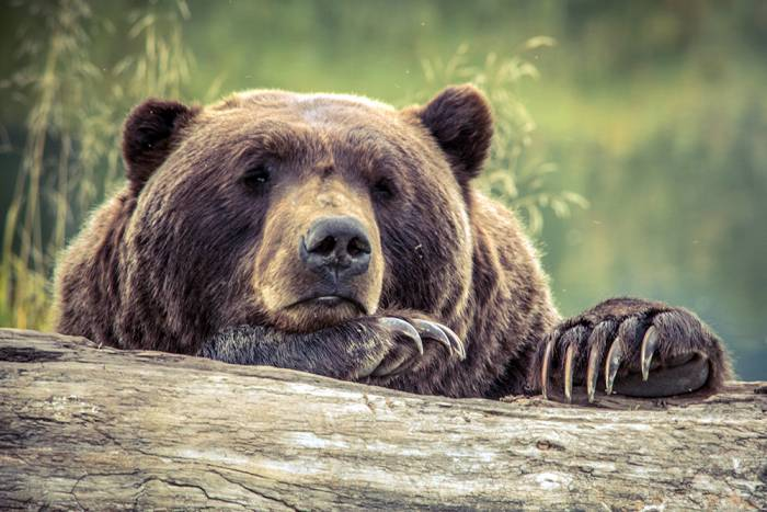 British Columbia bans grizzly bear hunt