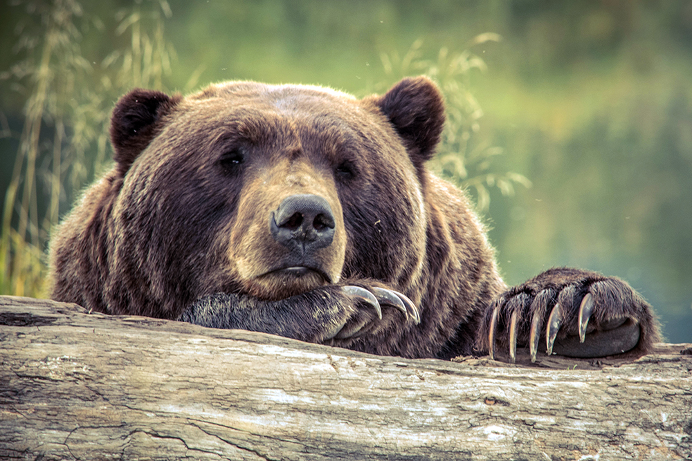 British Columbia Bans All Grizzly Bear Hunting
