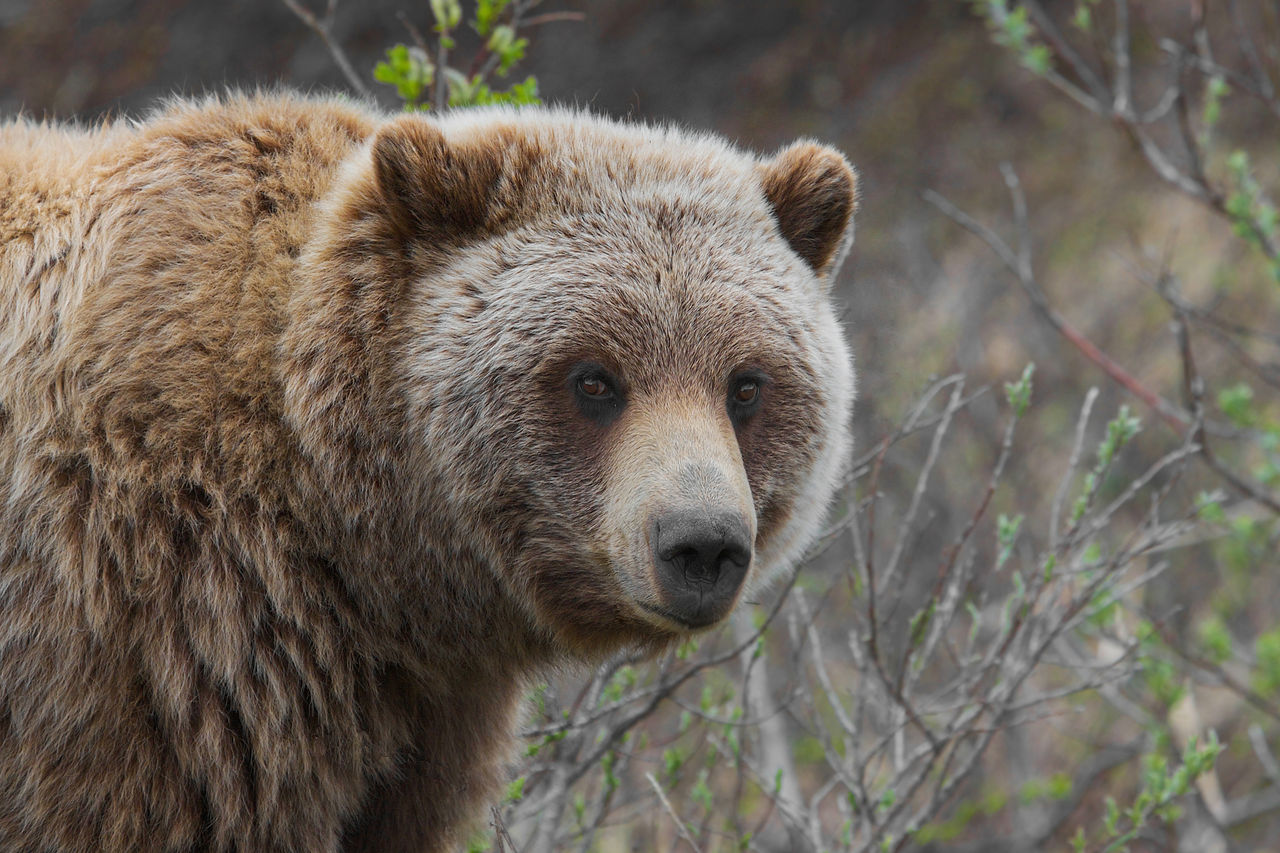 grizzly bear attack anchorage alaska
