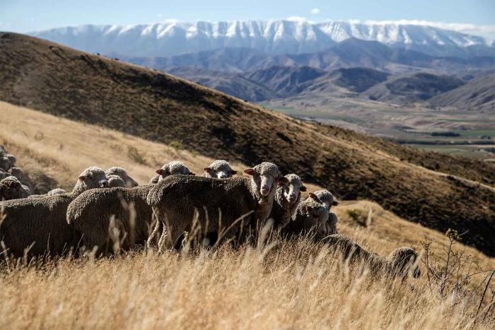 merino in New Zealand