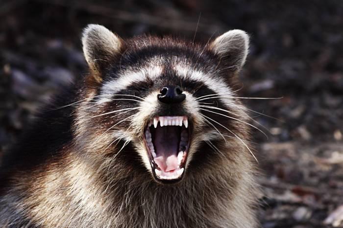 rabid raccoon yawning angry