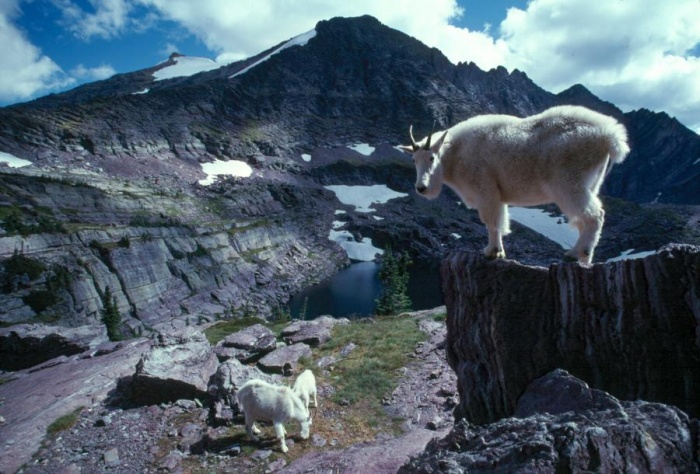 Mountain Goats in Glacier National Park; photo by USGS