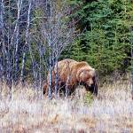 british columbia bans ends trophy grizzly bear hunting