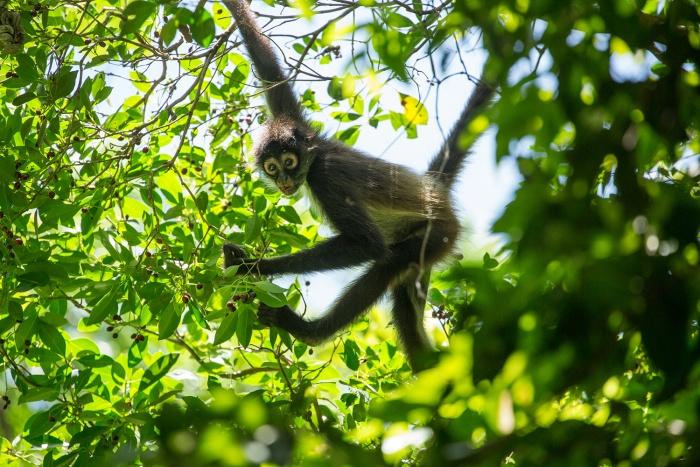 A howler monkey at Punta Venado