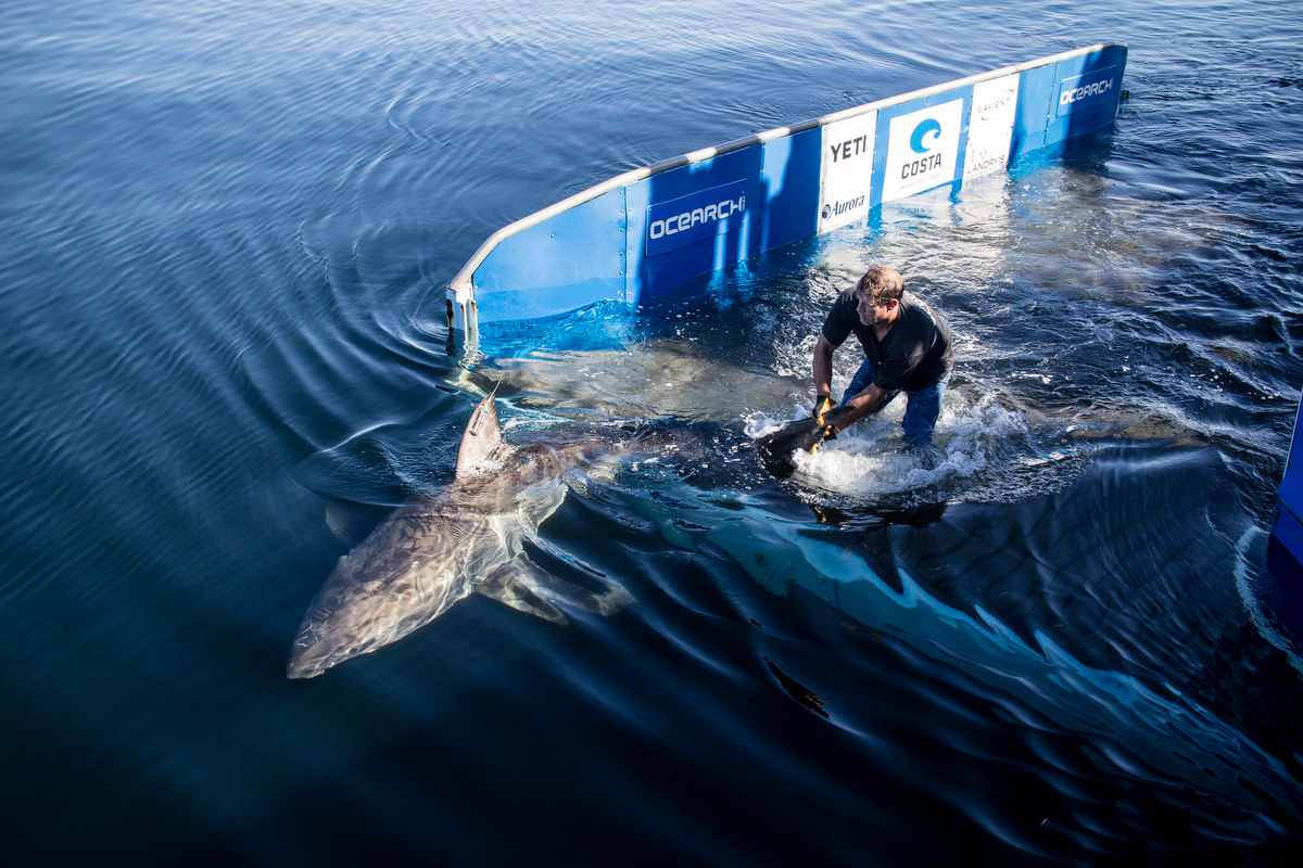 Great White Shark Pictures - many images of