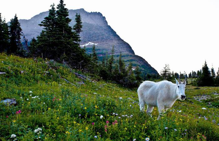 Mountain goat in Glacier National Park; Photo by Esther Lee, licensed via Creative Commons 2.0