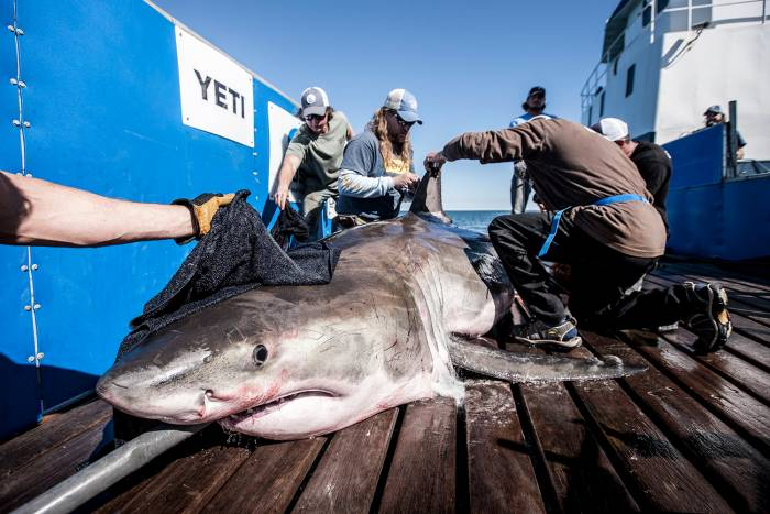 How to legally catch a great white shark altavistaventures Images