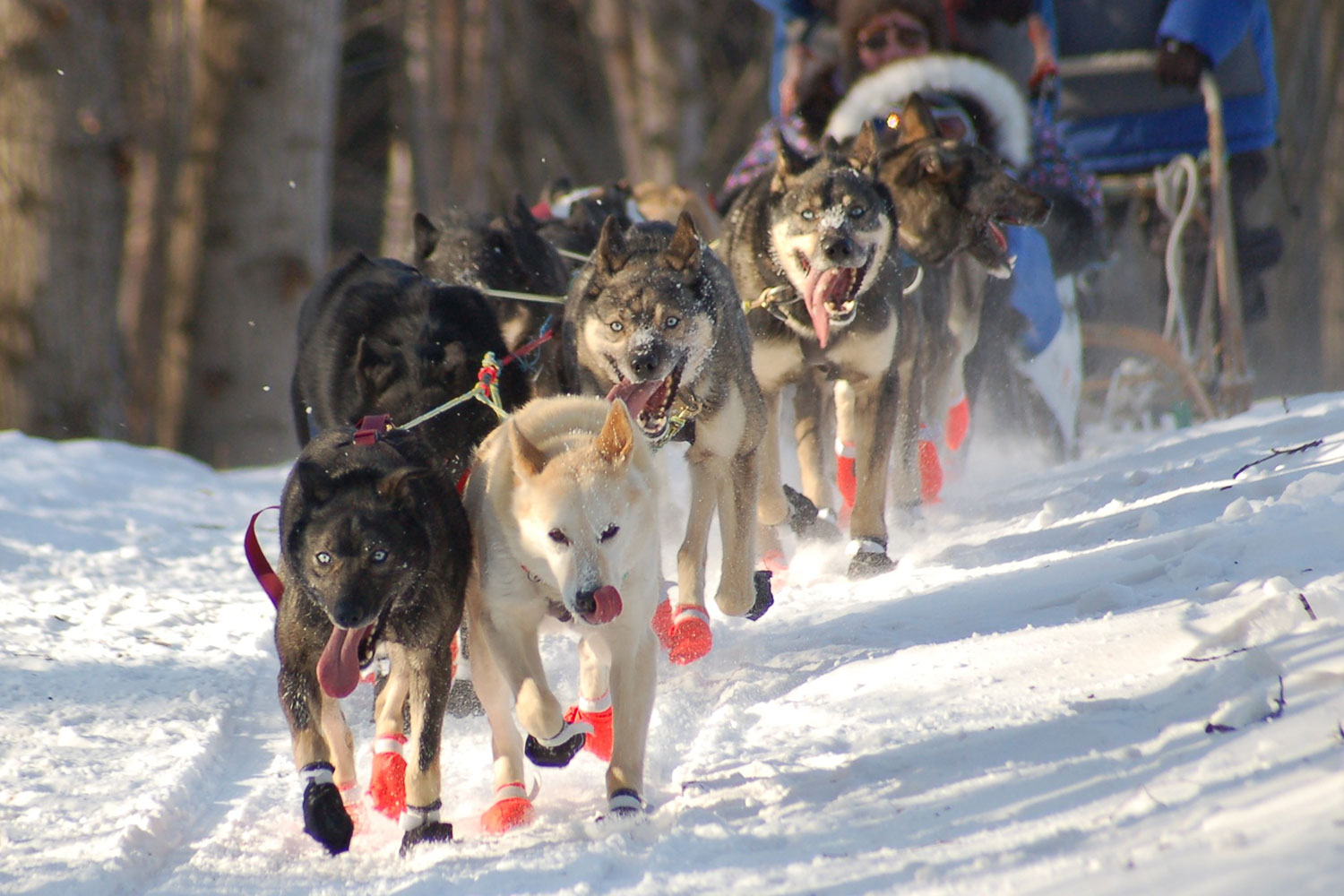iditarod drug policy