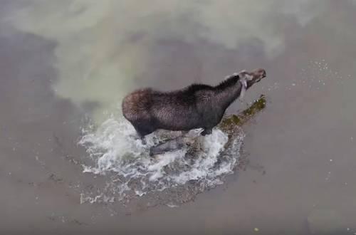 wolf vs moose battle