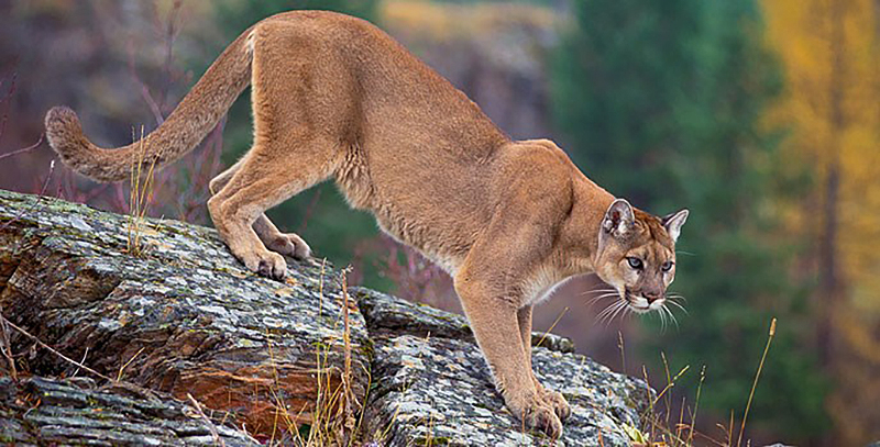 Runner Fights Off, Kills Mountain Lion on CO Trail