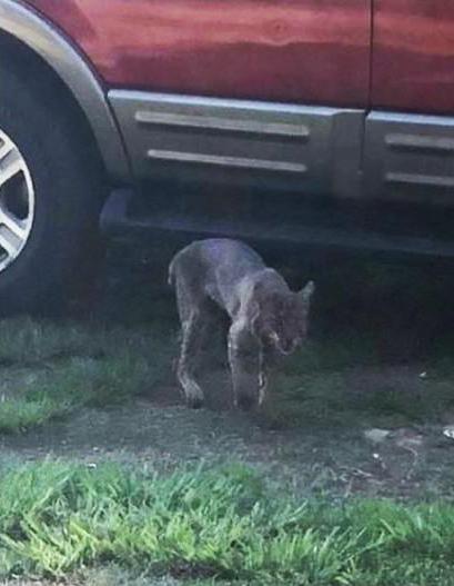 Rabid Bobcat