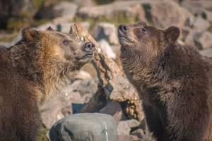 Grizzlies in West Yellowstone Credit David Bush
