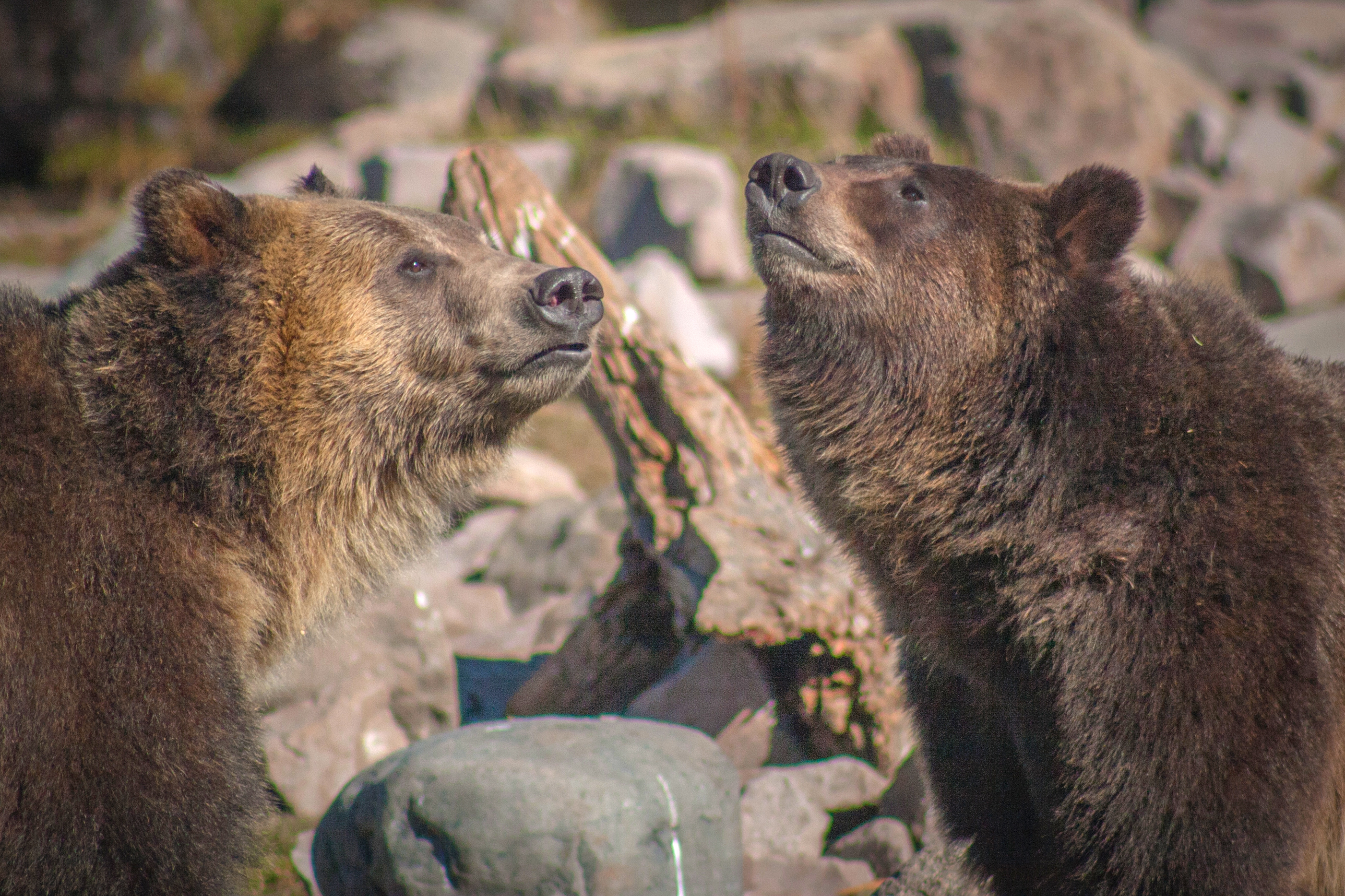 Grizzlies in West Yellowstone Credit David Bush