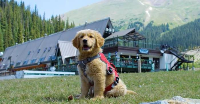 North Country Subaru >> Welcome Tikka, A-Basin's Newest Avalanche Rescue Puppy ...