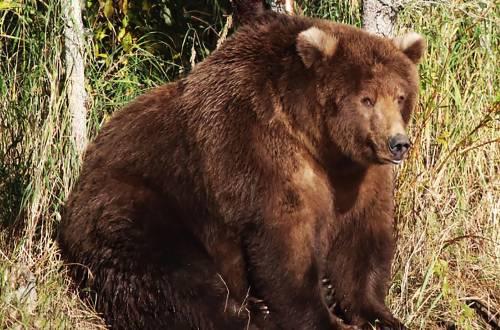 Beadnose fat bear