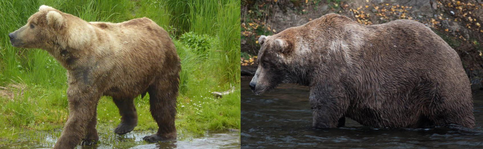 Otis brown bear fat