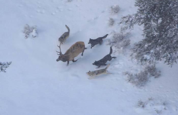 Credit: Doug Smith, Yellowstone National Park