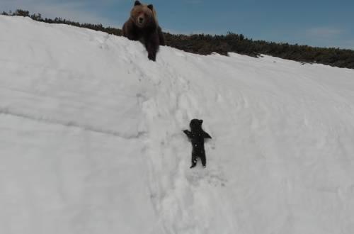 bear cub falls down snow slope