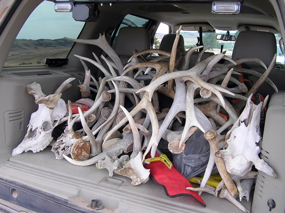 Shed Hunting Grows in Popularity, Adds Stress for Wildlife