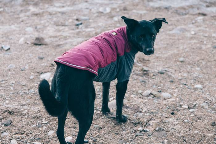 Black dog in Ruffwear jacket