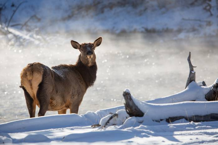 Elk next to a snow-lined river looking back at the camera