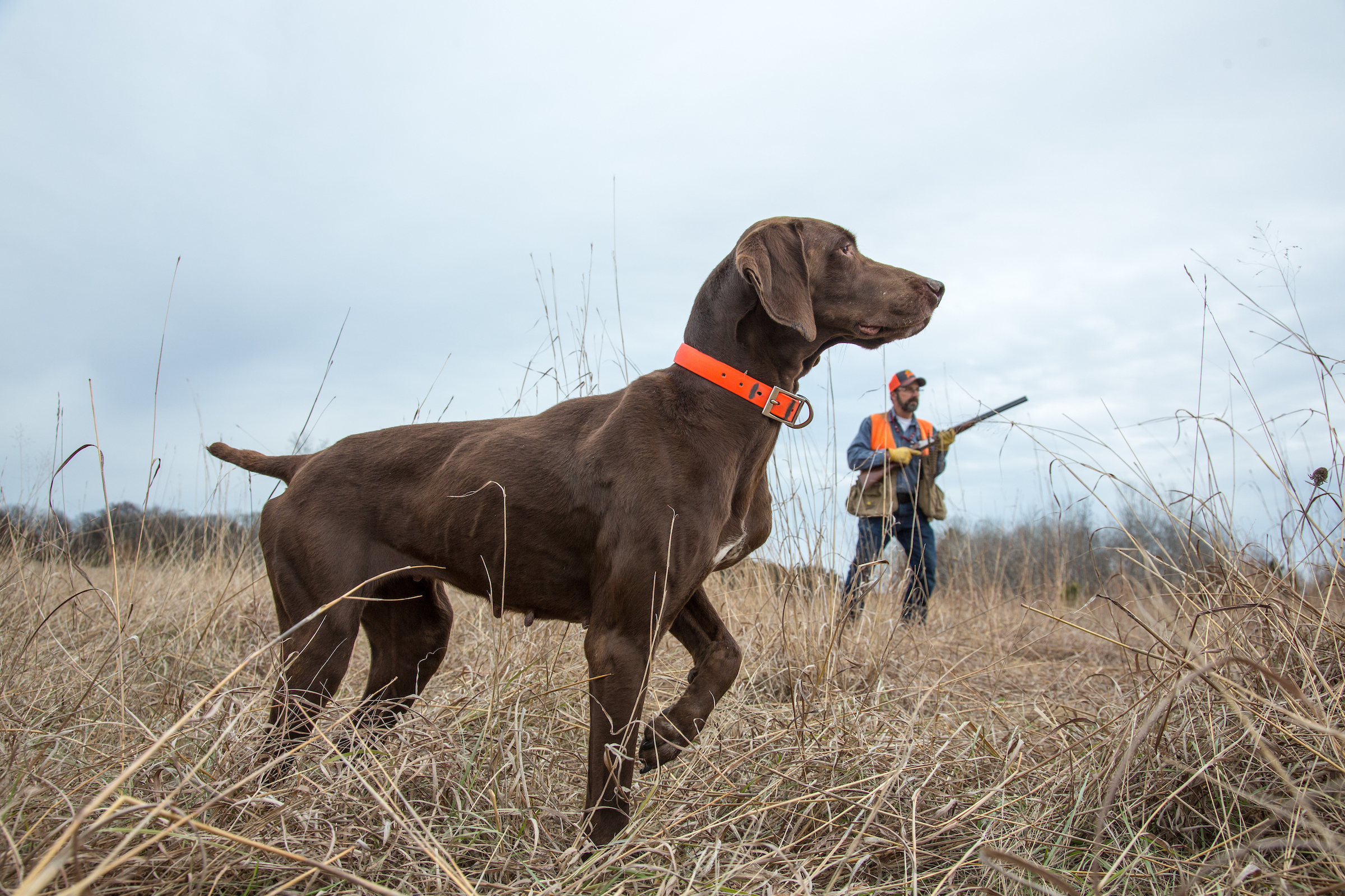 Finding and Starting Your Pheasant Dog: 7 Tips From the