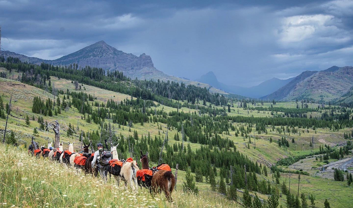 backcountry hunting group with pack llamas on grassy mountainside