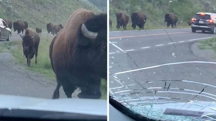 'Didn't Take the Insurance': Watch Bison Slam Rental Car