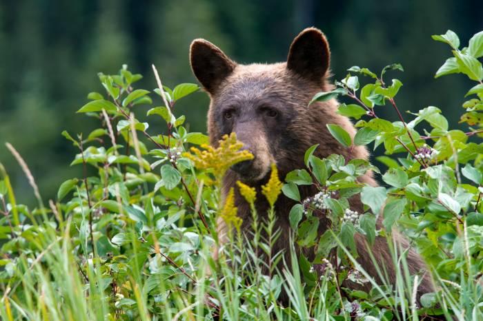 Grizzly, Black Bear Behavior Spurs Closures, Rule Changes at Glacier National Park