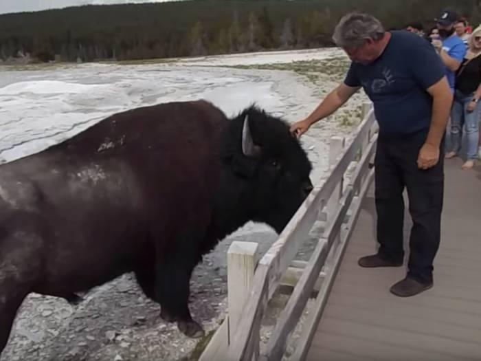 man-pets-bison