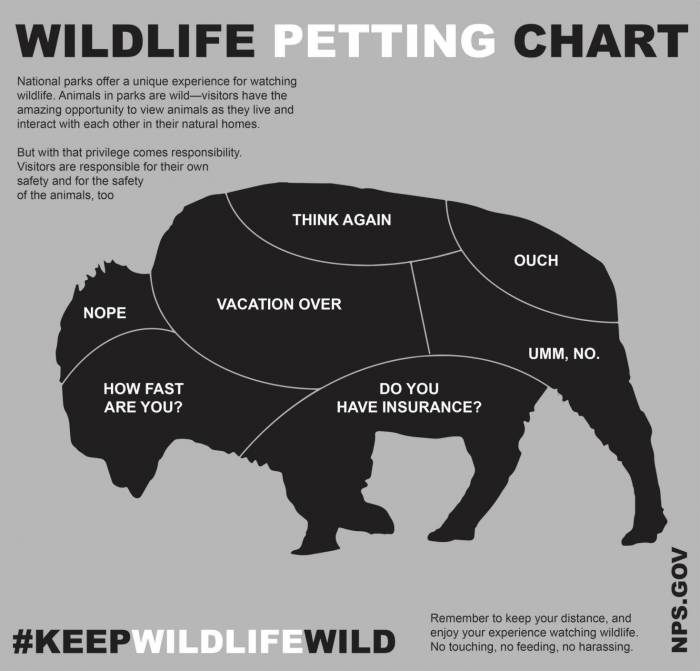 petting-a-bison
