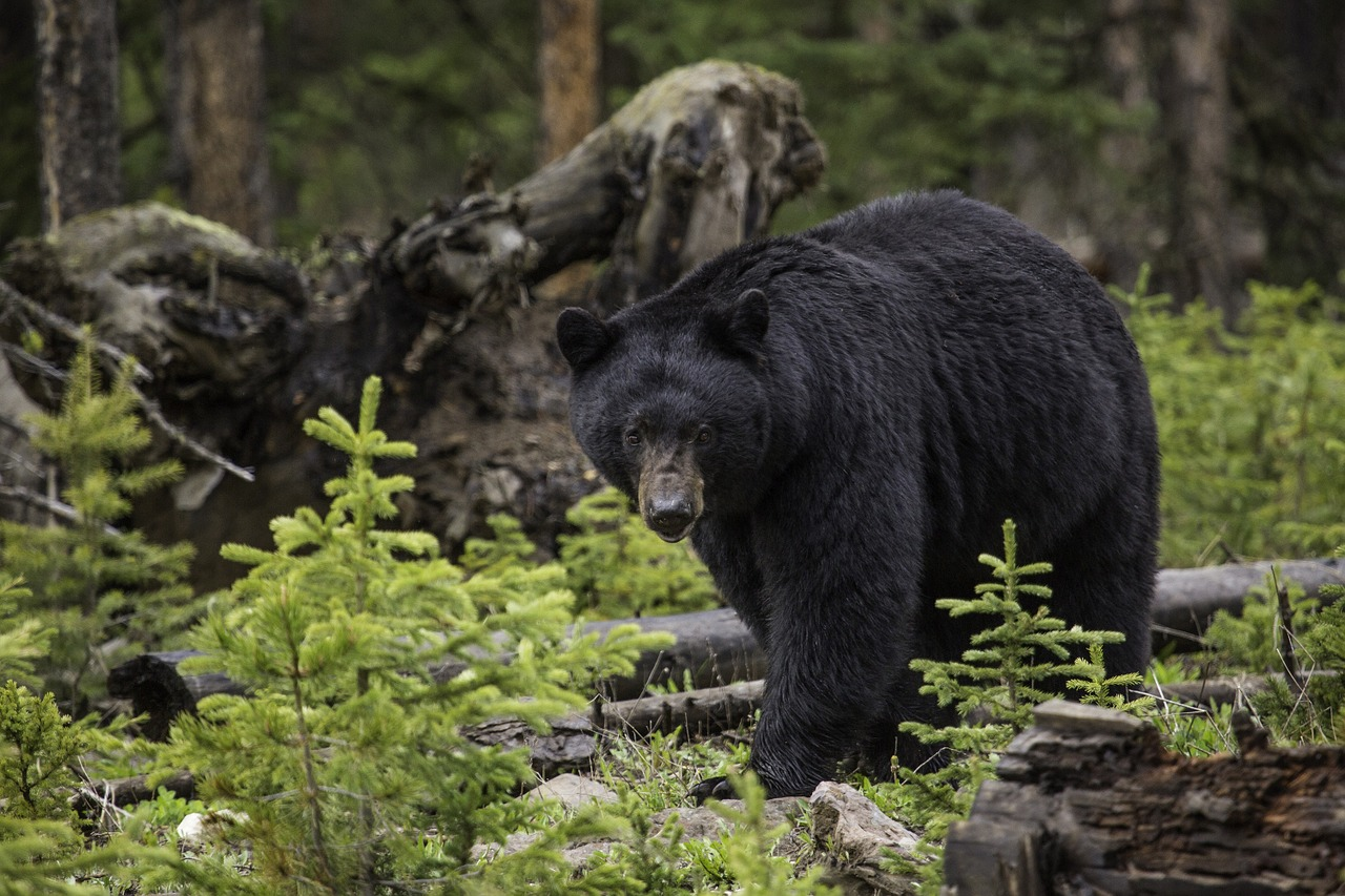 Fatal bear attack on Rainy Lake involved a sow with two yearlings