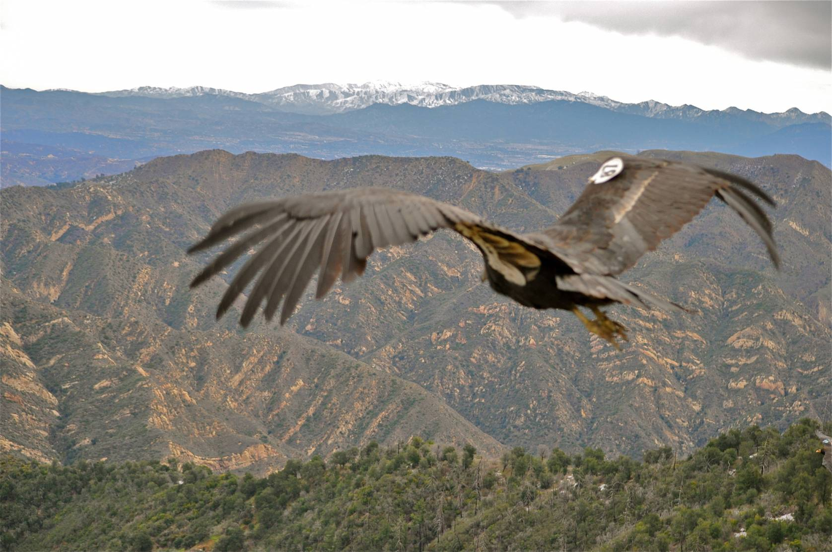 a tagged California Condor flying over mountains