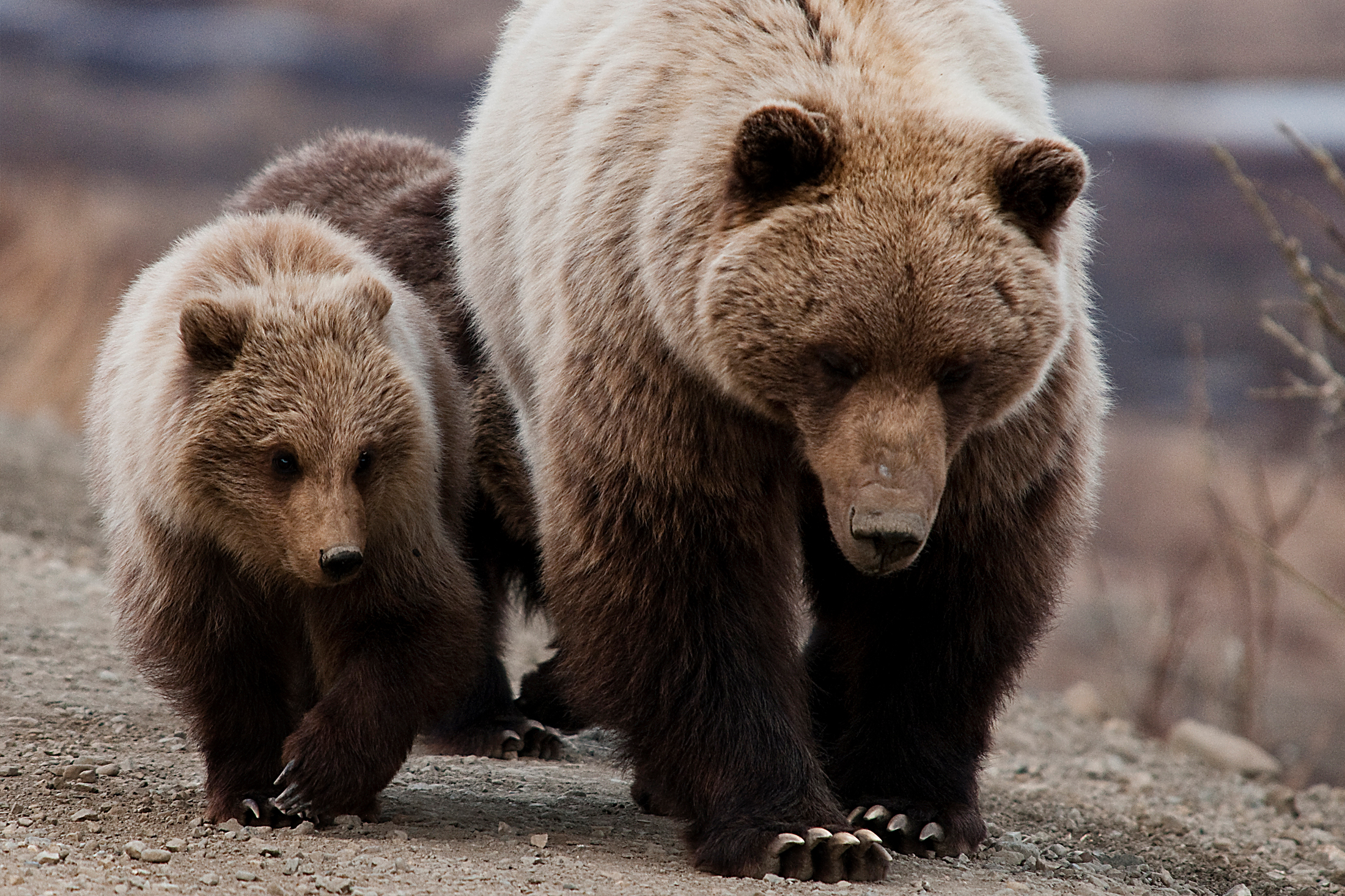 Grizzly Sow and Cubs walking close together