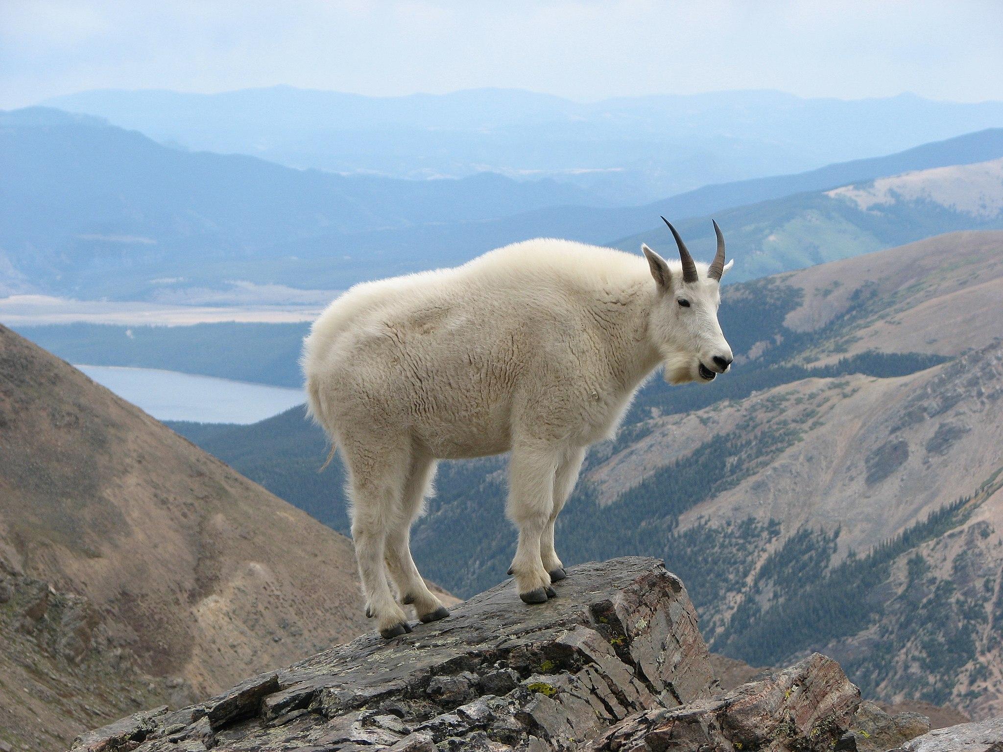 Backcountry Boycott mountain goat