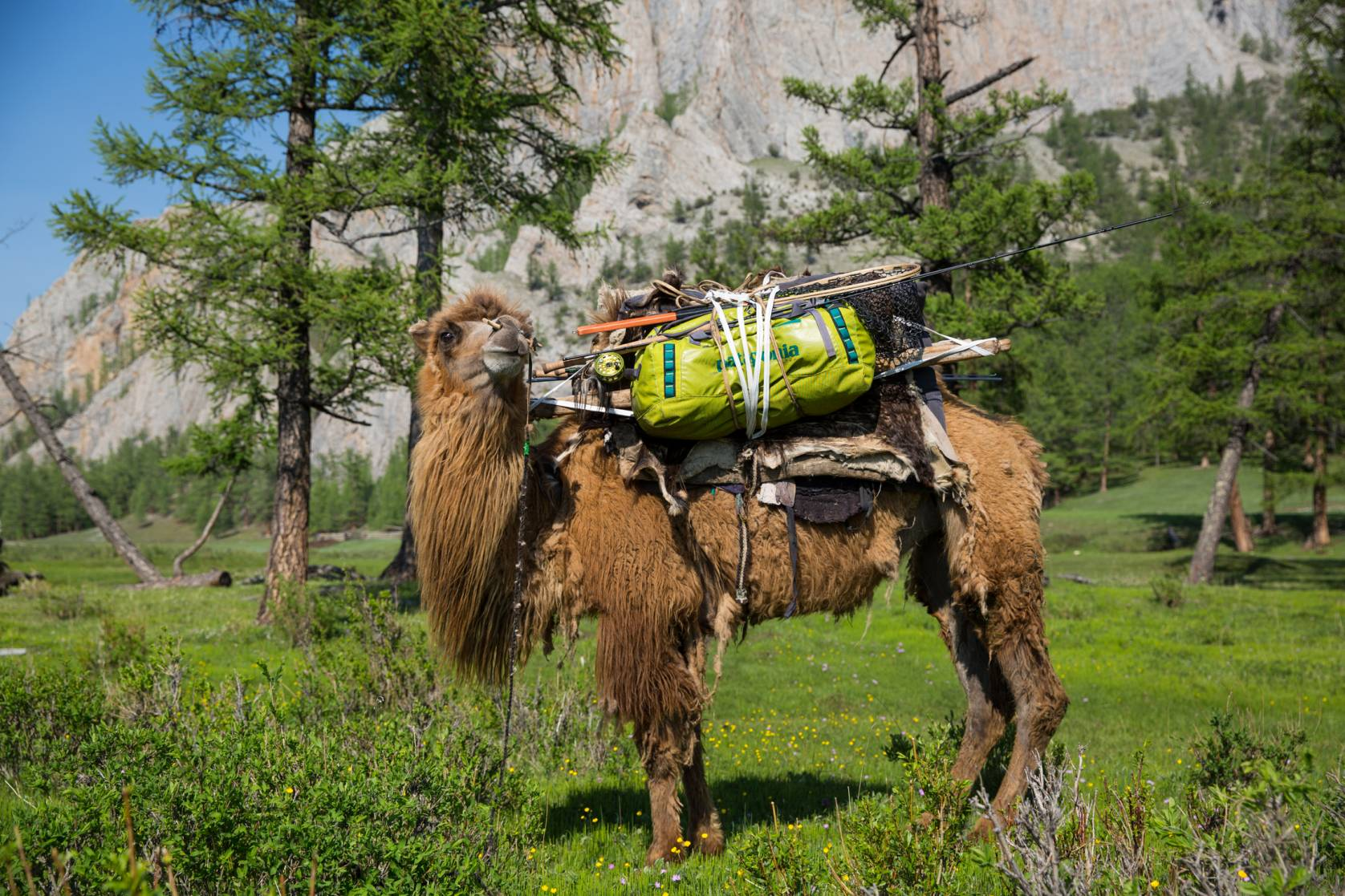 Camel carrying Patagonia Black Hole Duffel and Gear