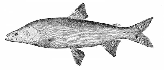 nelma or sheefish