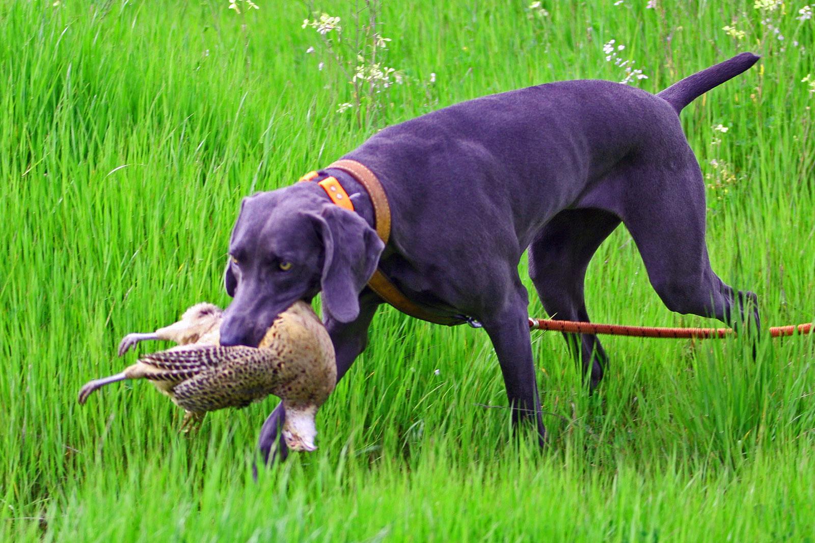 Weimaraner hunting