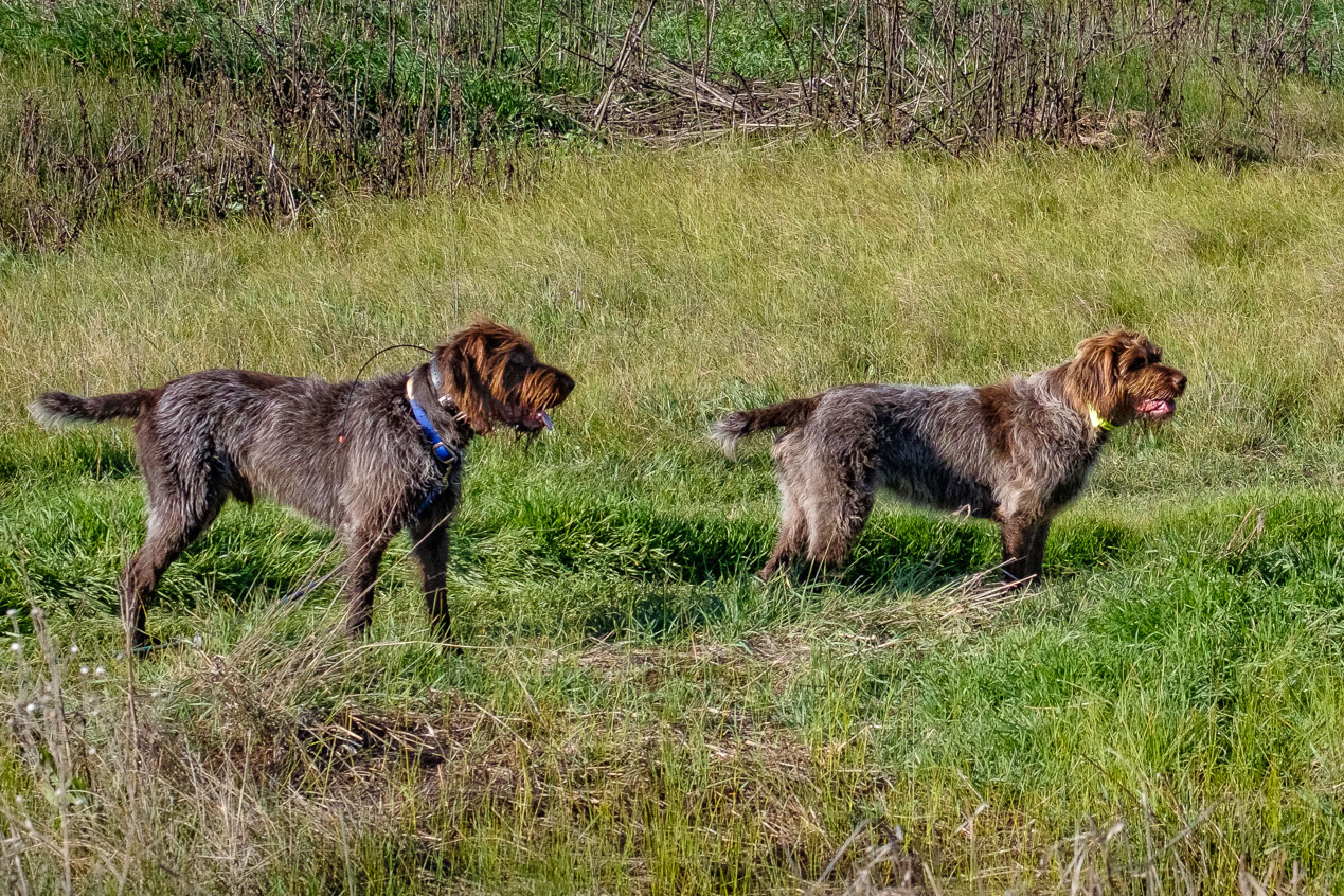 Wirehaired Griffo