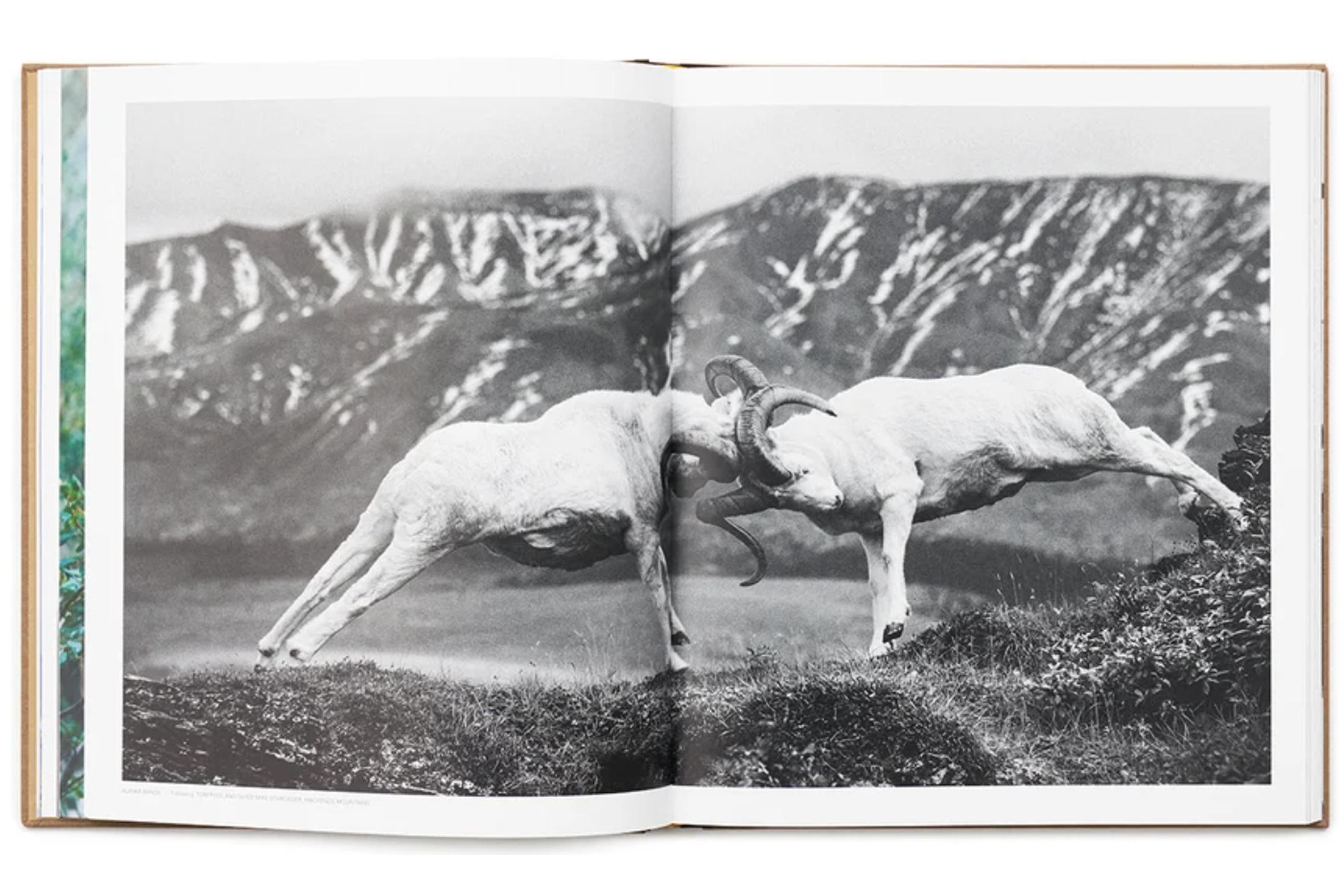 wild sheep the book