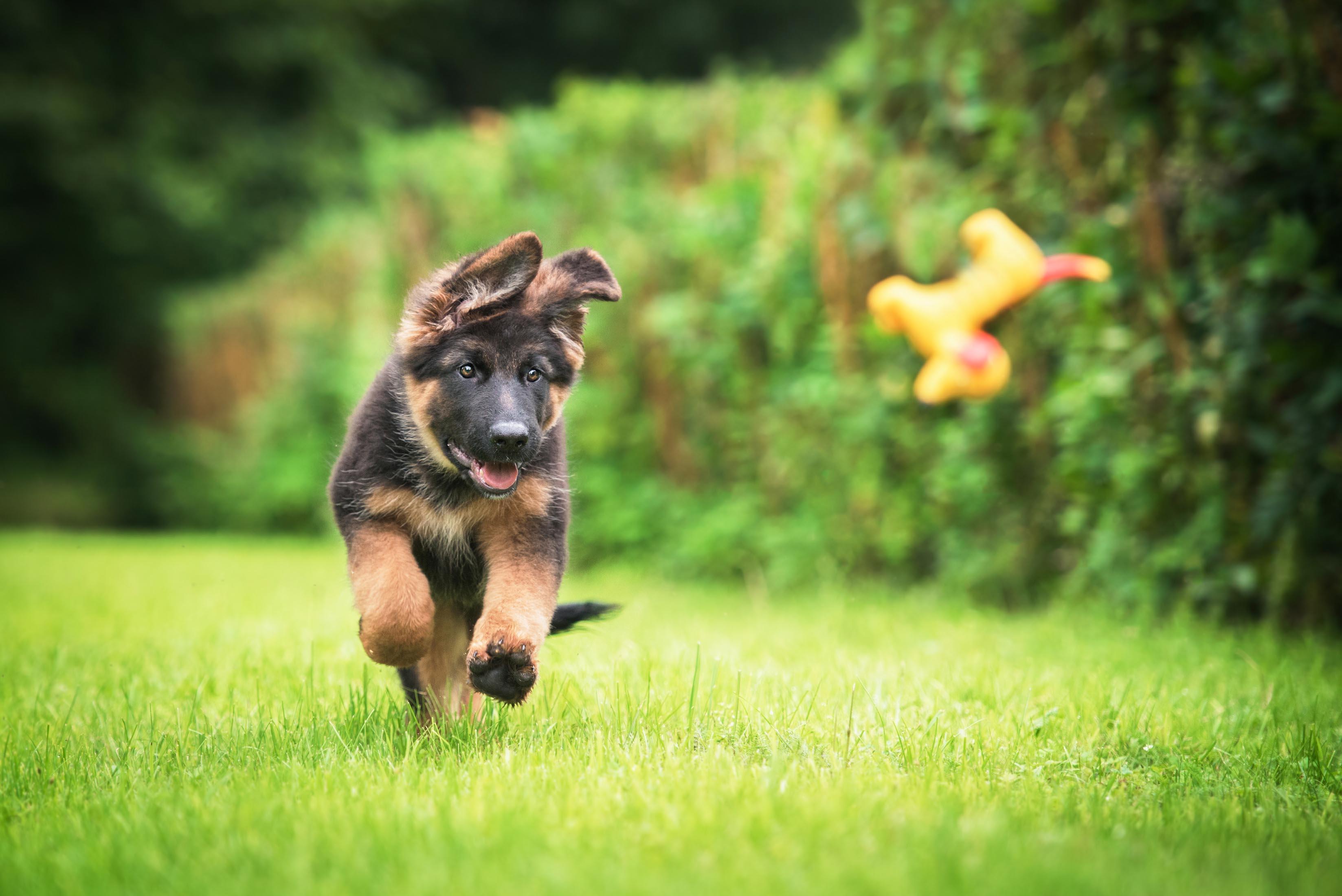 puppy starter kit, german shepherd